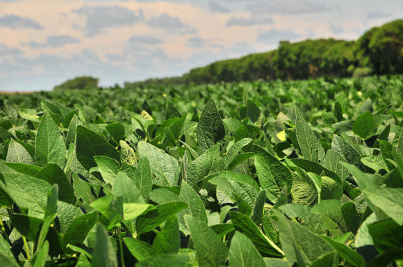 Large areas of the Brazilian Amazon rainforest has been cleared for cultivation to meet the rising demand for soybeans in feed production. Picture: Wikimedia Commons