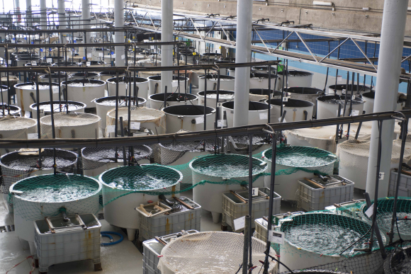 An intensive culturing station for aquaculture research is run by the University of Las Palmas de Gran Canaria, a partner in  EU research  project AQUAEXCEL to help fish farmers become more competitive. © juanafonso